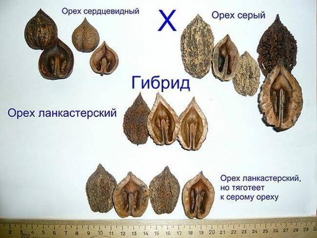 Орех сердцевидный: описание и особенности выращивания