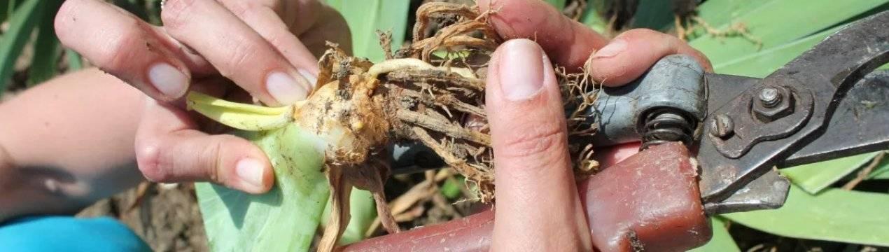Описание лучших сортов сетчатых ирисов, посадки, выращивание и уход