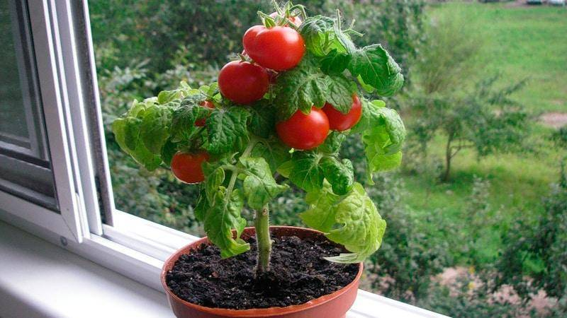 Томат балконное чудо: выращивание в открытом грунте и в домашних условиях