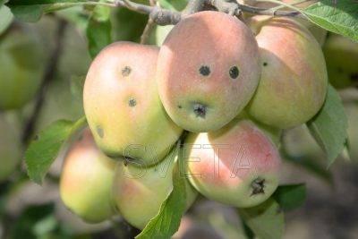 Яблоня августа – сорт нового поколения