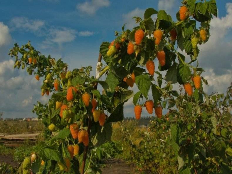 """Малина """"оранжевое чудо"""": описание сорта, фото, отзывы, уход, обрезка"""