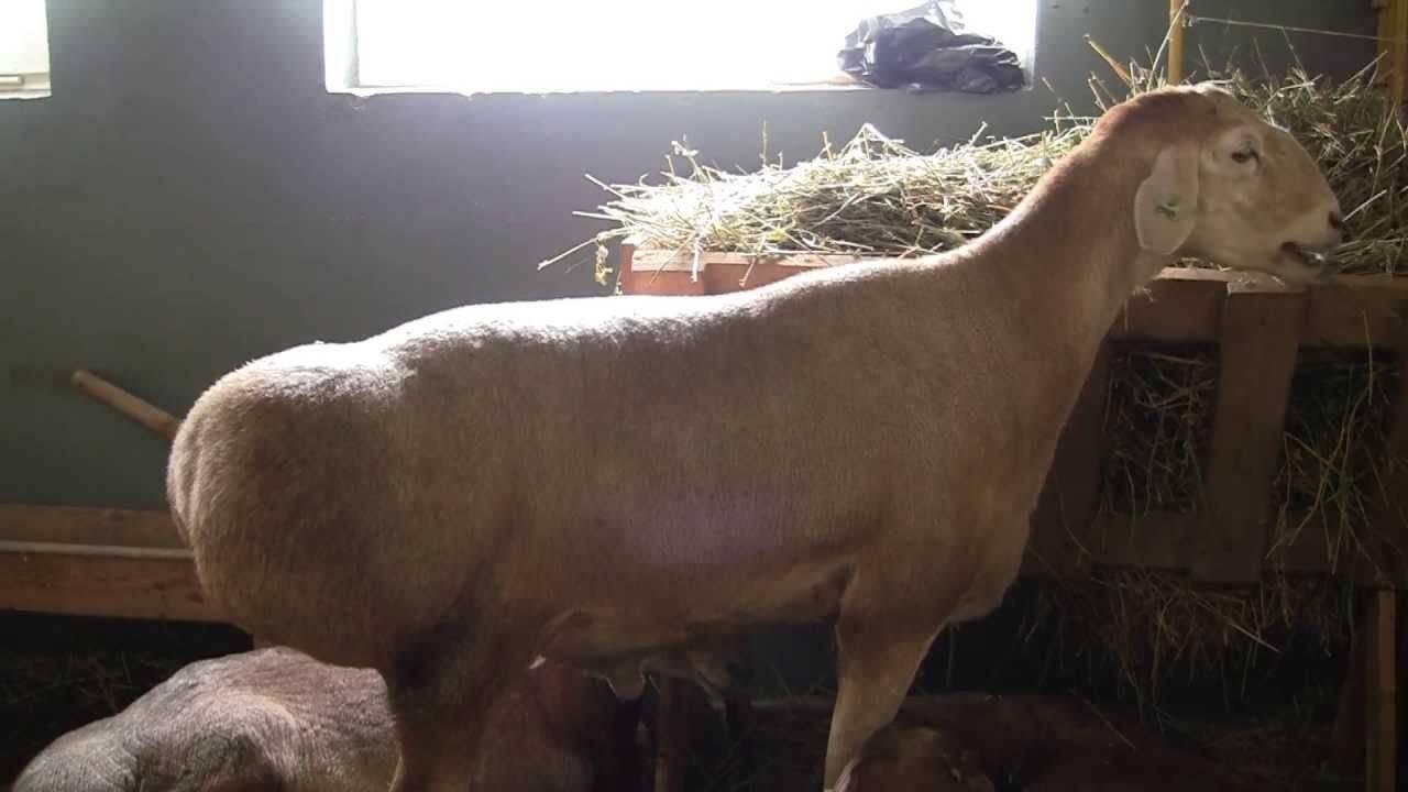 Тонкорунные овцы: отличительные особенности, список популярных пород, правила разведения