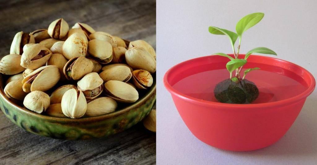 Фисташки: где и как растут, как вырастить дома и полезные свойства