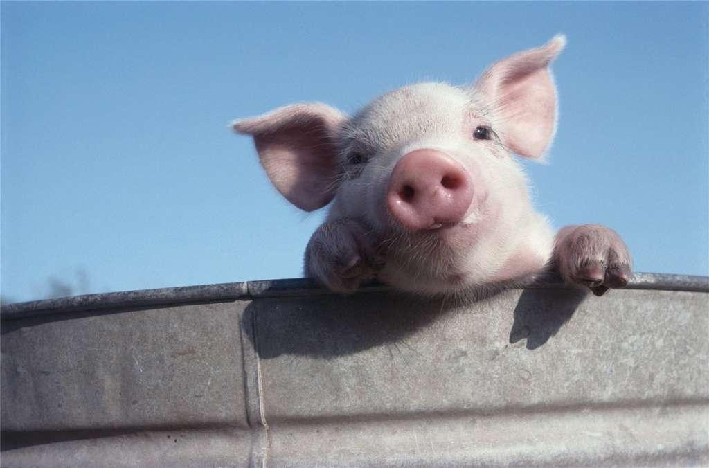 Вши у свиней: как с ними бороться?