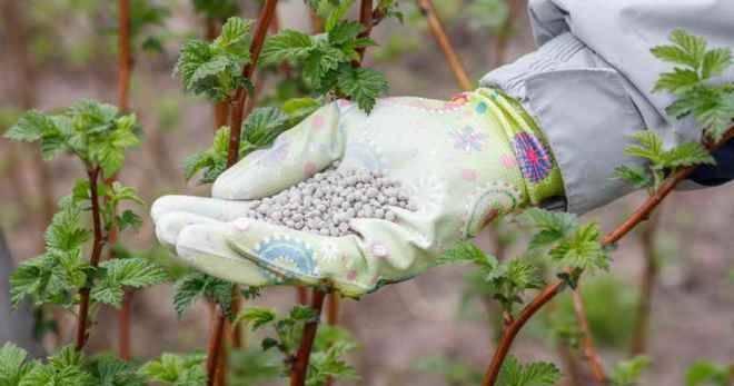 Чем подкормить малину весной: азотные, минеральные и органические подкормки