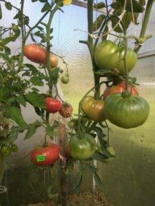 Сорт с  очень вкусными плодами — томат бийская роза: описание помидоров и характеристики