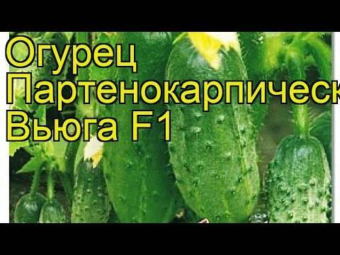 Огурец серпантин — характеристика и описание сорта