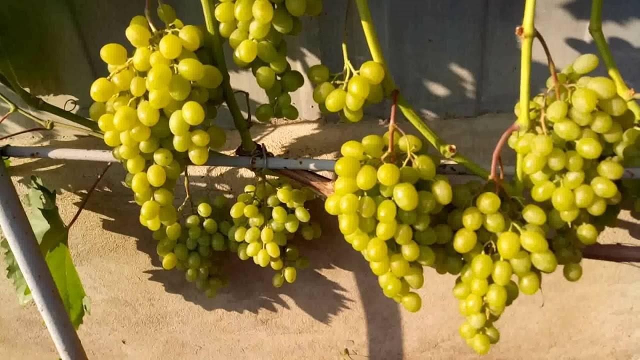 Виноград гарольд. описание и характеристики. посадка и уход