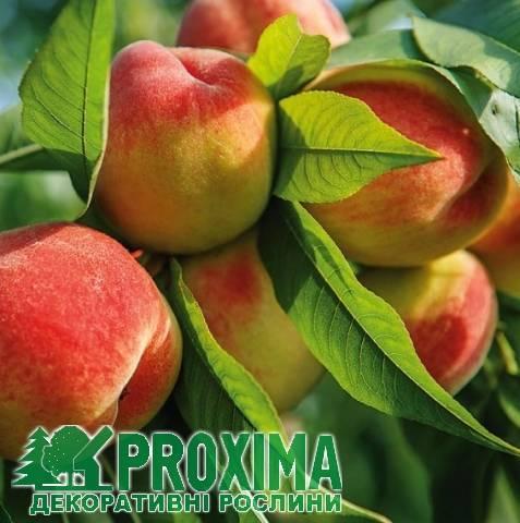 Сорта персика для краснодарского края, фото с названием и описанием, какие лучше