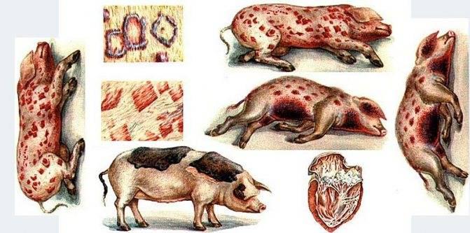 Чем опасна рожа у свиней, симптомы заболевания и способы лечения в домашних условиях