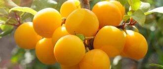 О сливе светлячок: описание сорта, агротехника выращивания, особенности ухода