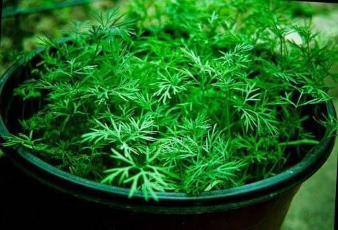 Все тонкости и хитрости выращивания петрушки – богатый урожай зелени к вашему столу