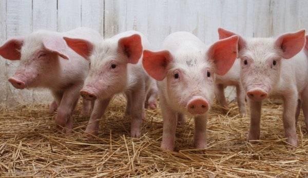 Какой должна быть температура тела свиньи в норме, причины возможных отклонений?