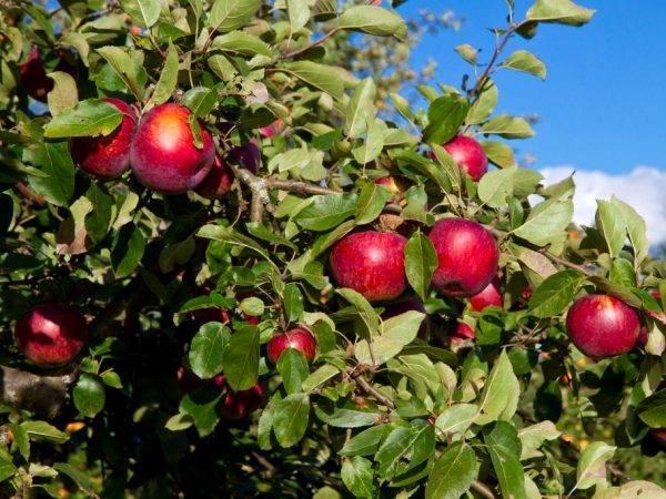 Яблоня «коваленковское»: описание сорта, фото и отзывы