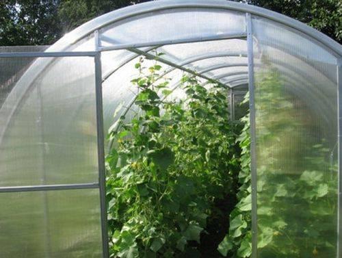 Выращиваем огурцы в теплице: правила ухода от посадки до урожая