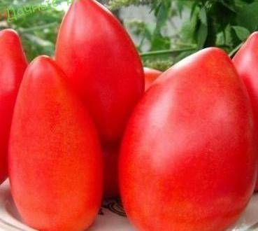Томат «безразмерный»: описание сорта с супер-размером помидоров и длительным плодоношением
