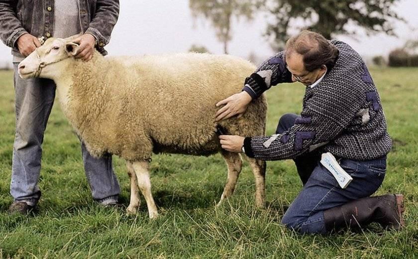 Случка и окот овец: ликбез по размножению