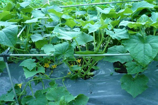 Лучший способ выращивания огурцов на пленке без прополки и окучивания