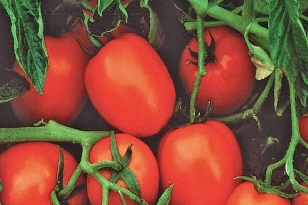 Томат чибис — стабильный урожай без особых хлопот