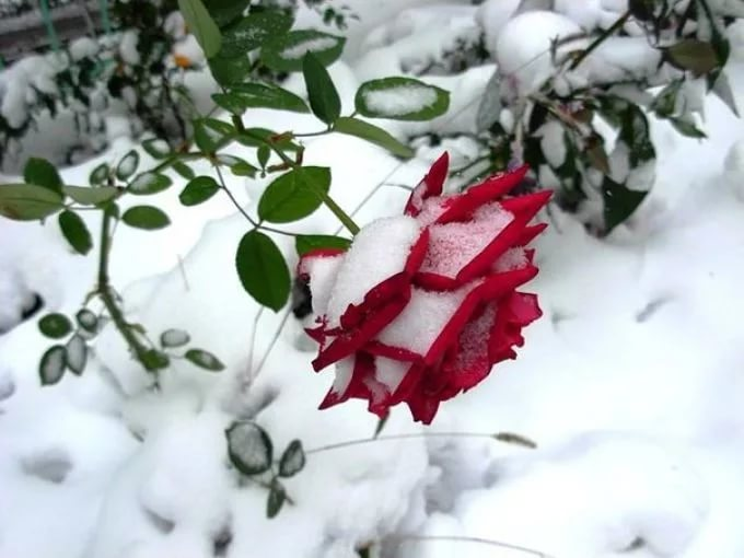 Как правильно провести подготовку роз к зиме