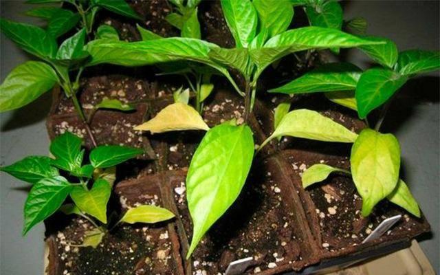 Почему у рассады перца желтеют нижние и верхние листья