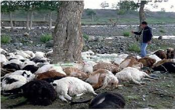 Понос у ягнят (овец): причины и лечение