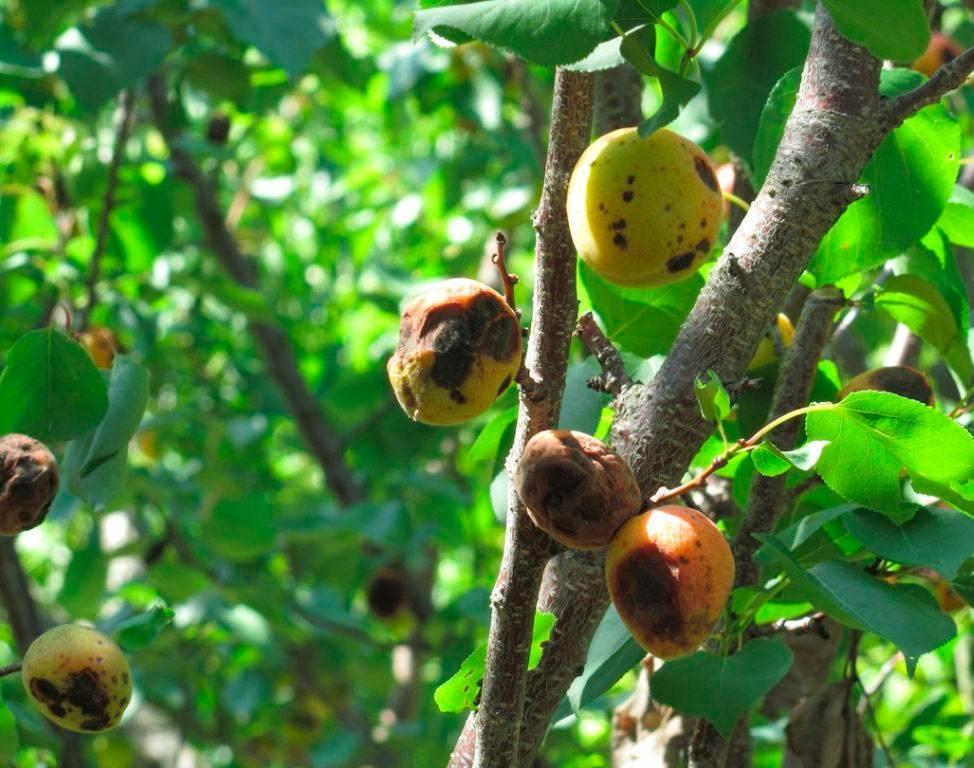 Что такое монилиоз вишни и как лечить эту заразу?