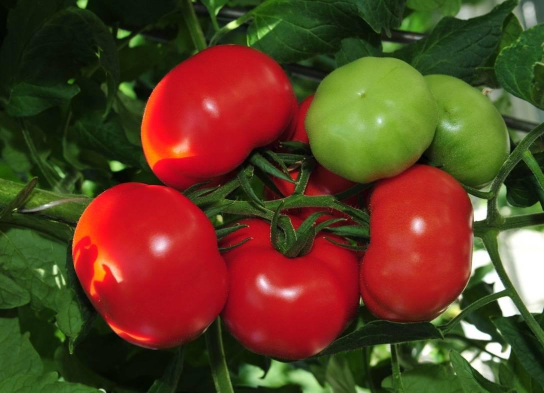 Томат алтайский красный: характеристика и описание сорта с фото