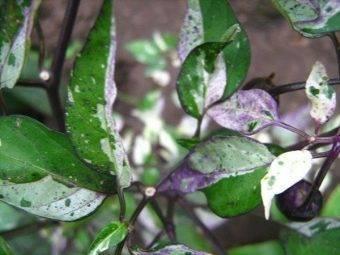 Почему у перца скручиваются листья и что надо делать