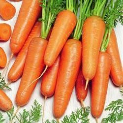 Отличительные характеристики моркови канада f1 и особенности ее выращивания