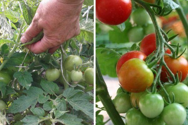 Лучшие сорта томатов: описание и принципы выбора