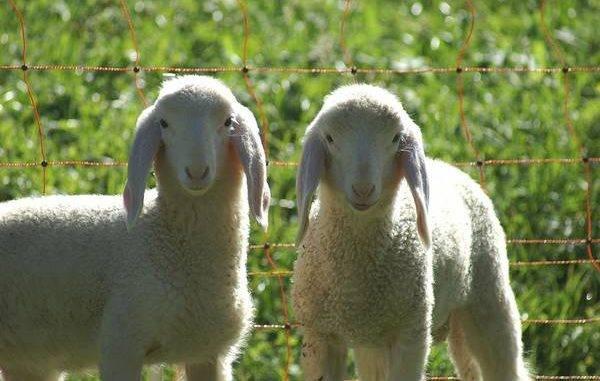 В чем разница между бараном и овцой