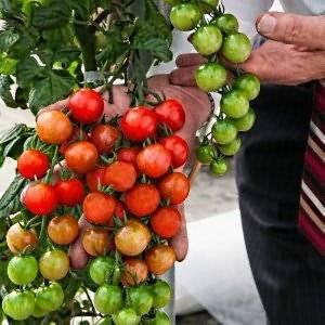 Лучшие сорта помидор для засолки