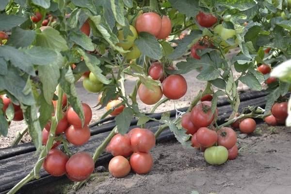 Описание двух вариантов гибридных сортов томата «марисса»