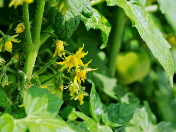 Выращивание с описанием и характеристиками сорта томата тарпан