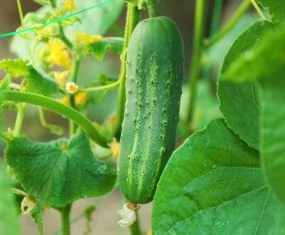 Огурцы мертус — характеристика и правила выращивания сорта