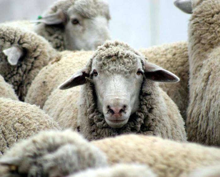 Как доить козу после окота?