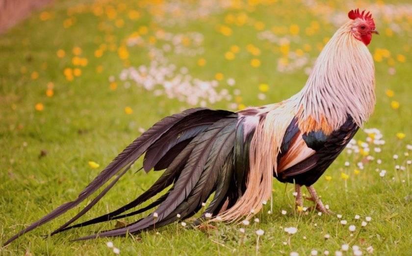 Характеристики и описание декоративной породы кур феникс
