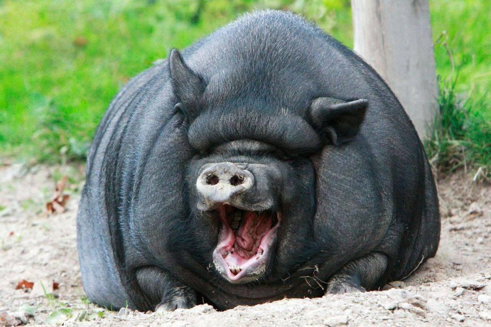 Хряки-рекордсмены и самая большая свинья в мире