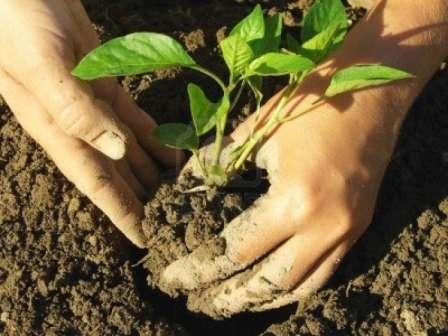 Когда и как высаживать рассаду перца в открытый грунт