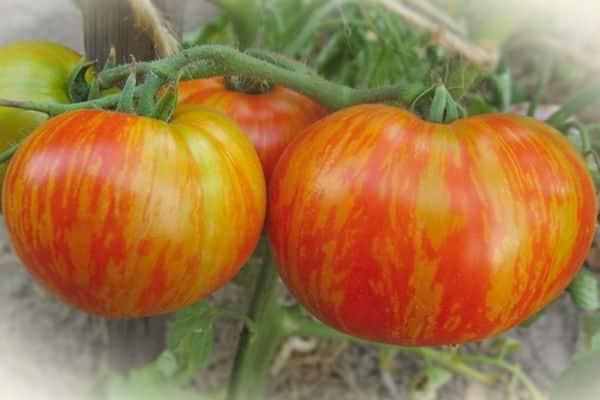 Описание сорта томата Толстый боцман и его характеристики
