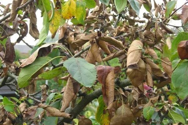 Рассказываем, почему сохнут листья у яблони и как с этим бороться