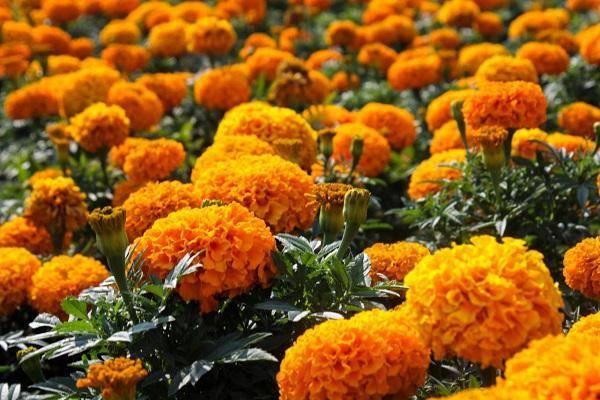 Бархатцы: сорта, описание и фото цветков