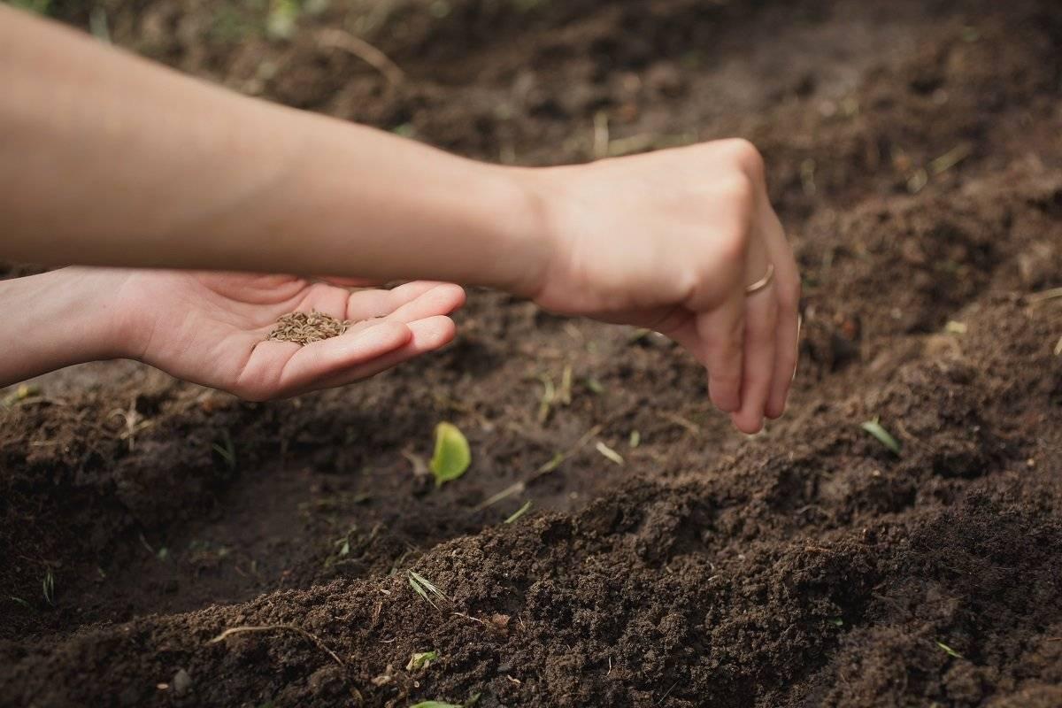 Посев петрушки под зиму: сроки и правила