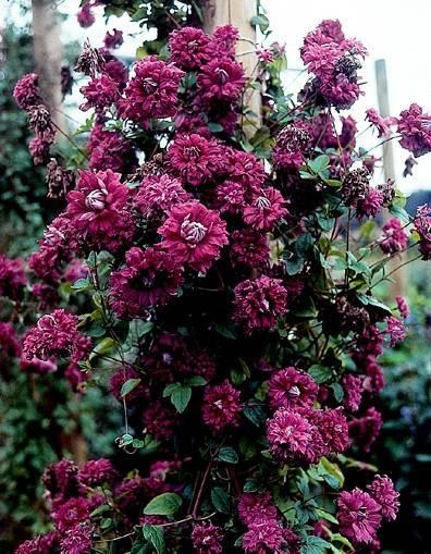 Клематис сорта пурпуреа плена элеганс: элегантность бордо на вашем участке