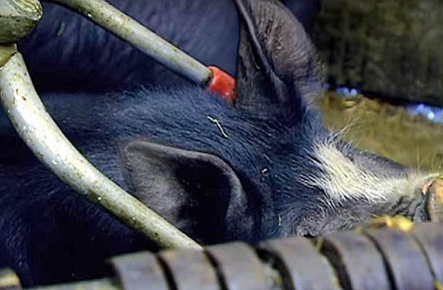 Основные правила строительства свинарника