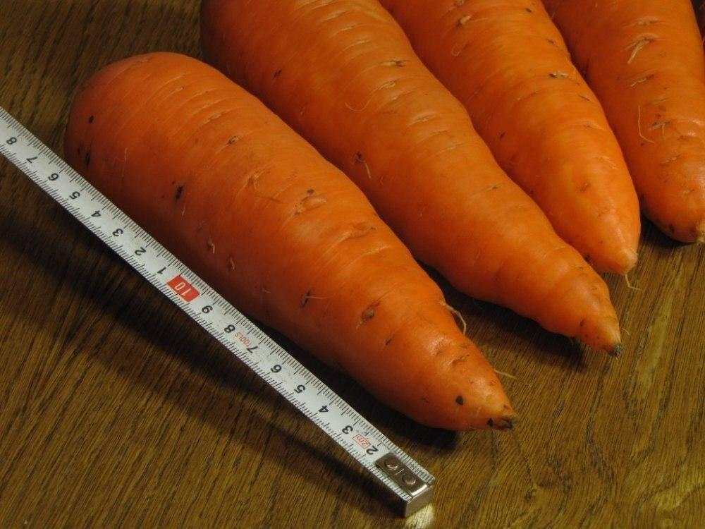 Чем хороша морковь шантене