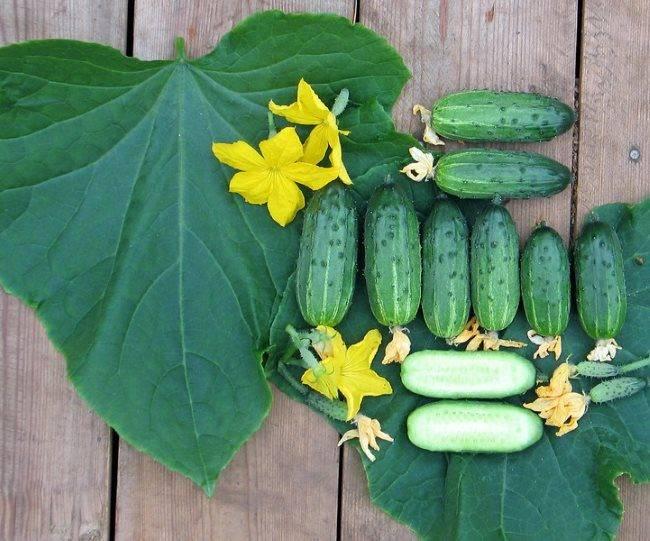 Огурец родничок – главные характеристики гибрида и правила выращивания