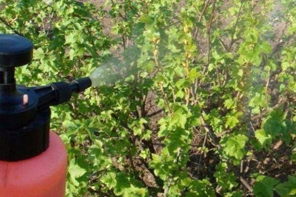 Клещ на смородине – что делать? признаки поражения смородины паутинным и почковым клещами и методы борьбы