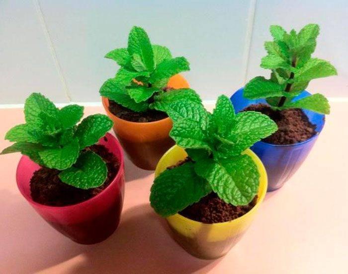 Как посадить, вырастить и ухаживать за мятой из семян в открытом грунте на даче
